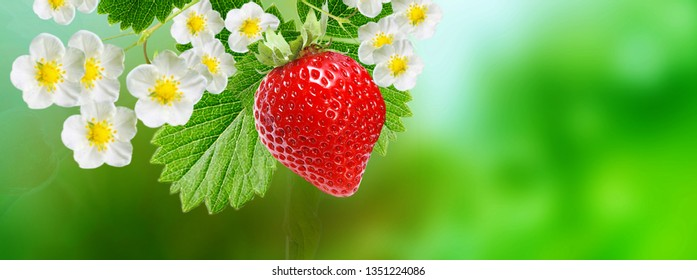 gardening ripe strawberries