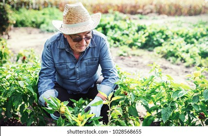 Gardening. Senior man working in the garden with a plants. Hobbies and leisure