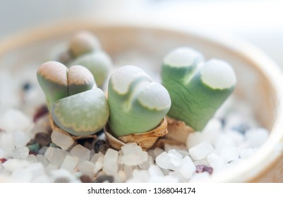 Gardening. Succulent plants in ceramic pot. Lithops or living rock plants.