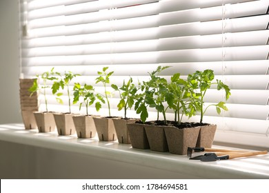 Gardening tools and green tomato seedlings in peat pots on white windowsill indoors - Shutterstock ID 1784694581