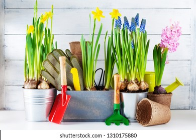 Gardening tools and seedling of spring bulbous flowers for planting on flowerbed in the garden. Horticulture concept.