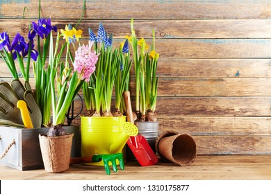 Gardening tools and seedling of spring flowers for planting on flowerbed in the garden. Horticulture concept. Clean space for text.