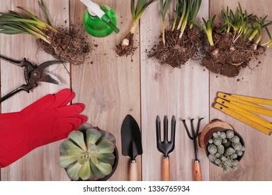 Gardening tools, succulents in pots, seedling of flowers on wooden background. Spring in the garden concept, top view, flat lay composition. Copy space.