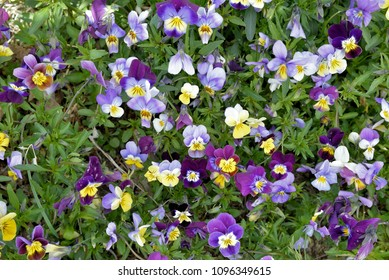 Gardening:  Tricolor viola plants used for perenial ground cover.