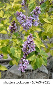 Gardening:  Variegated lilac plant.