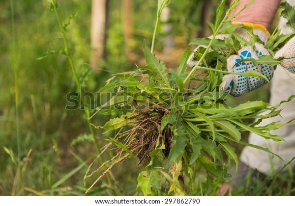 Gardening, weeding weeds. Hilling trees. Gardening.