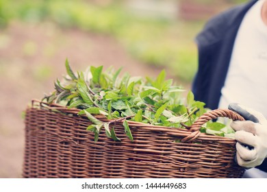 gardening woman holding wooden basket with healthy herbs ment peppermint tea fresh close up