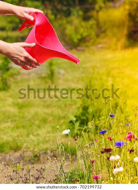 Gardening. Woman working in her backyard garden , female hands holding can watering plants flowers outdoor