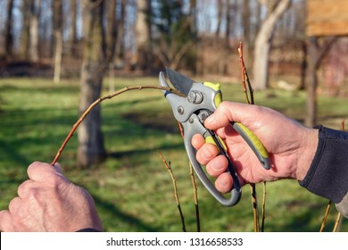 Gardening work in spring time. Garden secateur in man hands
