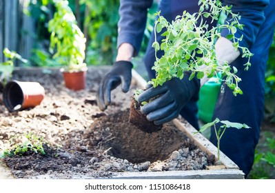 Gardening.Cultivating a pot of oregano herb