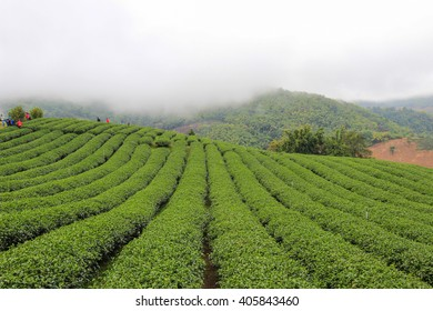gardens of the 101 Tea Plantation:located on Doi Mae Salong Mountain in Chiang Rai province of Thailand, just outside Santikhiri near the Golden Triangle