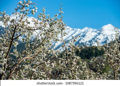 Gardens of blooming apples in the mountains of Almaty, Kazakhstan