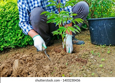 Garedener at work: How to plant a peony shrub in the ground. Man places the seedling in the ground. Step by step, tutorial.