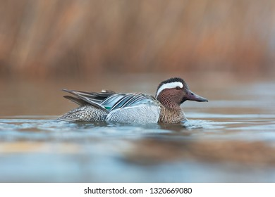 The garganey (Anas querquedula) is a small dabbling duck. Photo as taken in Ukraine. Wildlife