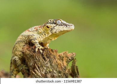 Gargoyle gecko or New Caledonian bumpy gecko (Rhacodactylus auriculatus) is a species of gecko found only on the southern end of the island of New Caledonia.