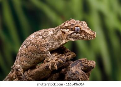 Gargoyle gecko on a dead tree branch