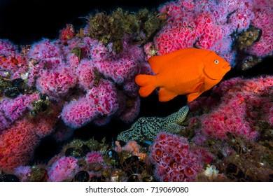 Garibaldi above Starfish and field of Corynactis (Sea Strawberry)