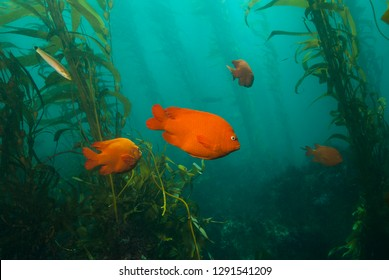 Garibaldi Damsel swimming between giant kelp plants