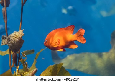 Garibaldi (Hypsypops rubicundus), a bright orange type of damselfish, are the official marine fish of California and are protected in the local waters. The are numerous on Santa Catalina Island.
