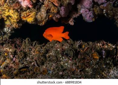 Garibaldi swimming by Reef