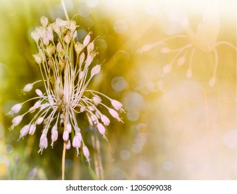 Garlic blossom closeup with copy space. Bokeh effect. Nature background.