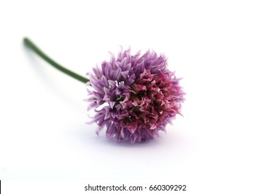 Garlic flower (Allium sativum). Garlic has a very long folk history of use in a wide range of ailments, particularly ailments such as ringworm, Candida and vaginitis, fungicidal and antiseptic.