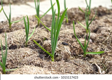 Garlic grows on a bed in even rows, the plants are covered with mulch from dry grass. Growing vegetables with organic farming.