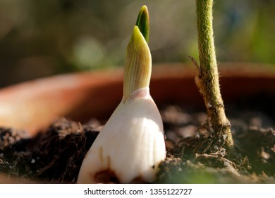 garlic plant in the pot
