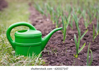 garlic plantation, young green garlic plants in a field at spring time, garlic sprouts with watering can