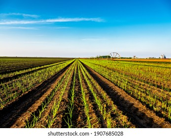 Garlic plants on a field, green agiricultural field