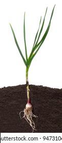 Garlic in the soil