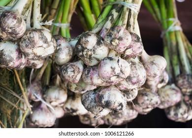 Garlic. Spice. Ripe garlic.