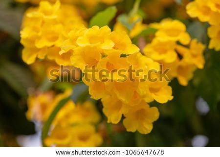 Garlic Vine Yellow Flowers Nature Stock Photo Edit Now 1065647678
