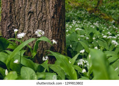 Bear's garlic wild flowers growing in springtime on the forest