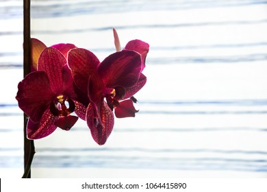 Garnet orchid on white and blue curtain