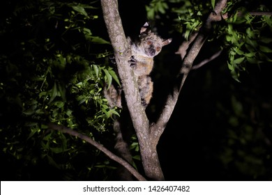 Garnett's greater galago or greater bushbaby, Otolemur garnettii, nocturnal, arboreal primate endemic to Africa. Night animal, lit by torch,  on a branch. Wildlife photography in Amboseli park, Kenya.