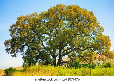 Garry Oak, also know as Oregon White Oak tree in Central Oregon near Dufur.