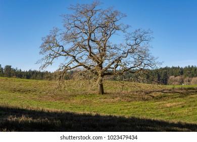 Garry oak(Quercus garryana) alone in a field with grass and blue sky.Victoria British Columbia Canada