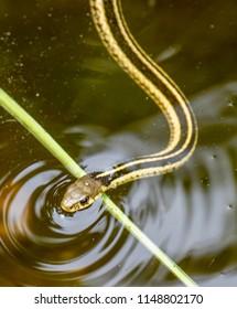 Garter snake in a rocky stream