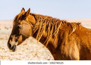 Garub Namib feral horses near Aus, Namibia