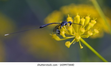 Gasteruption jaculator is a parasitic wasp species belonging to the family Gasteruptiidae subfamily Gasteruptiinae, Greece