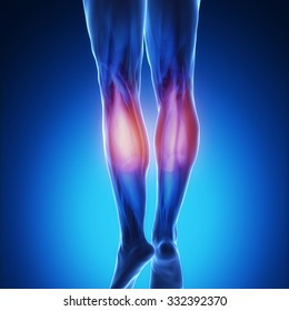 gastrocnemius - blue muscular map in detail