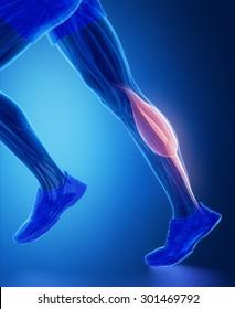 gastrocnemius - human muscle anatomy