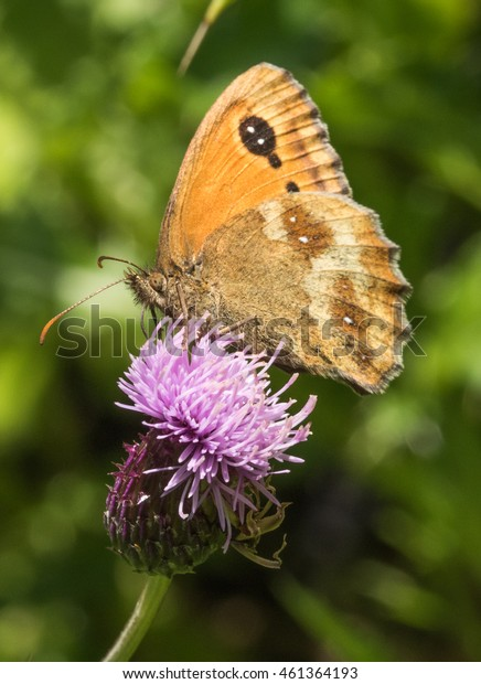 Gatekeeper Butterfly (Pyronia tithonus) on Thistle Flower