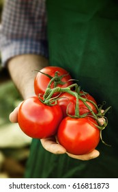 gathered tomatoes in farmer's hand
