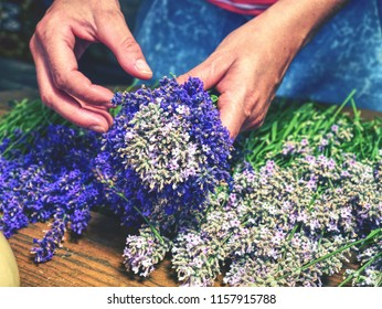 Gathering a bouquet of lavender. Girl hands are holding a bouquet of fresh lavender