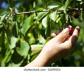 gathering  the cherries
