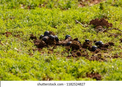 Gathering of dung beetles on dung in the field