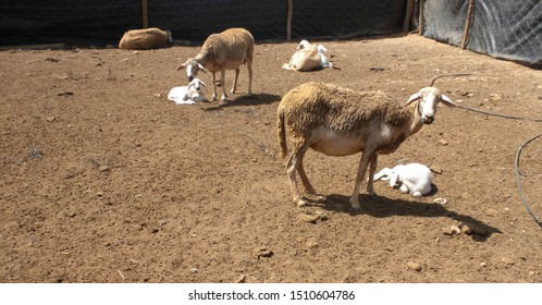 A gathering of ewes with their young in a rural home on the edges of the city of Guelmim, Morocco.