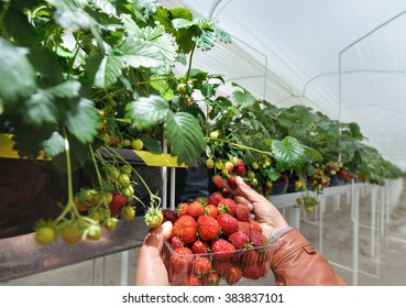 Gathering harvest of strawberries in greenhouses